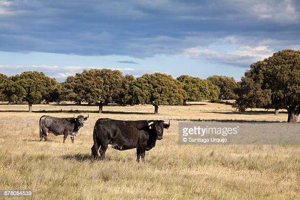 Bulls in a dehesa