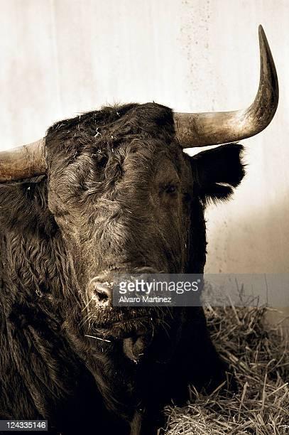 Bulls in Pamplona