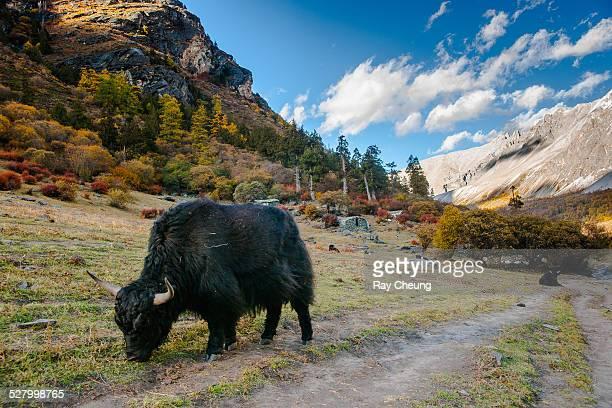 Bulls on mountain