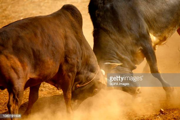 Bulls seen fighting during the festival organized to mark Maghe Sangranti or Makar Sankranti festival Thousands of people gathered at an open ground...