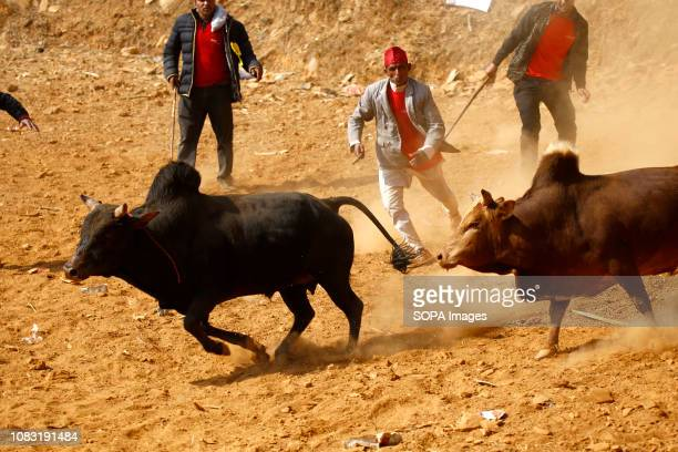 Bulls seen running after each other during the festival organized to mark Maghe Sangranti or Makar Sankranti festival Thousands of people gathered at...
