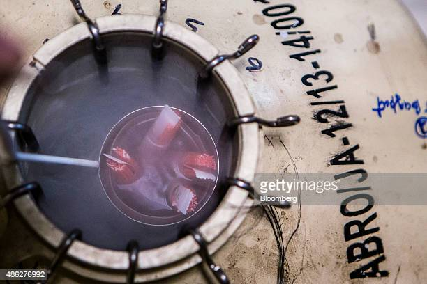 Bull's semen is stored in a liquid nitrogen canister at a center for the Animal Breeding Research Organisation a unit of the National Dairy...
