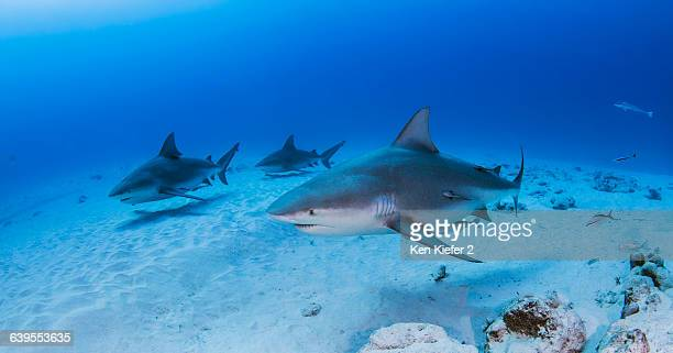 bullsharks, playa del carmen, mexico - bull shark stock pictures, royalty-free photos & images