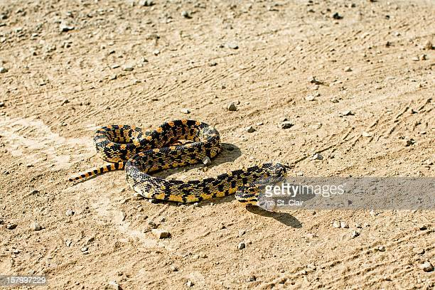 bullsnake in defensive striking pose on dirt road - bull snake stock pictures, royalty-free photos & images
