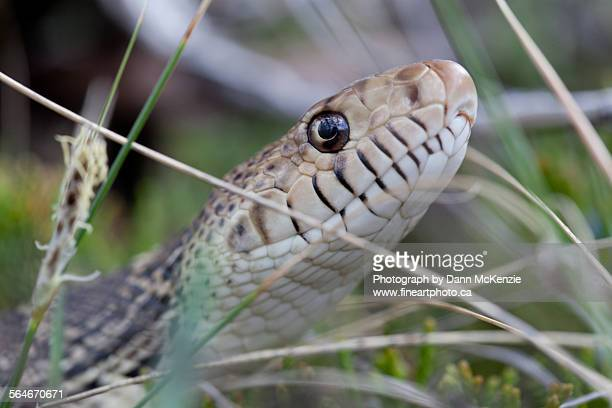 bullsnake in the big muddy - bull snake stock pictures, royalty-free photos & images