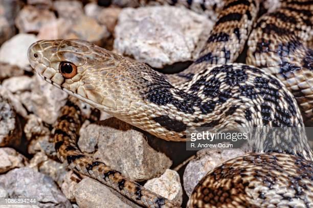 bullsnake - bull snake stock pictures, royalty-free photos & images