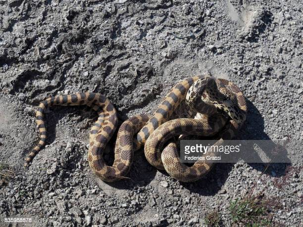 bullsnakes mating, yellowstone national park - bull snake stock pictures, royalty-free photos & images