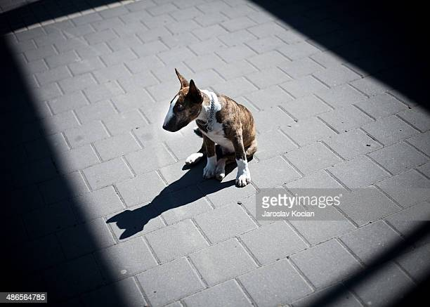 bullteirrer puppy - bull terrier stock photos and pictures