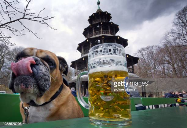 'Bully' the English bulldog sits next to a mug of beer and licks his nose in front of the Chinese Tower in the English Garden in Munich Germany 29...