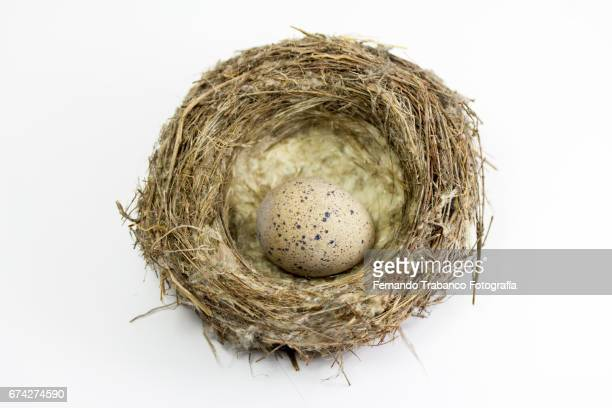 bullying or  one small eggs inside nest - quail bird stock photos and pictures