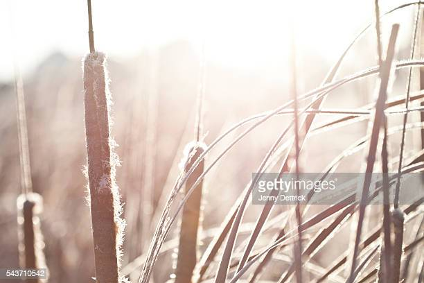 Bulrushes in morning frost