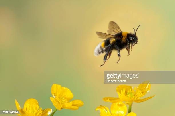 bumble bee, bombus hortorum, in flight, free flying over yellow buttercup flowers, high speed photographic technique, longest tongue of uk bees - bumblebee stock pictures, royalty-free photos & images