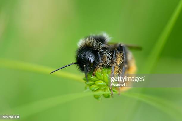 Bumble bee, Bombus, sitting on blossom