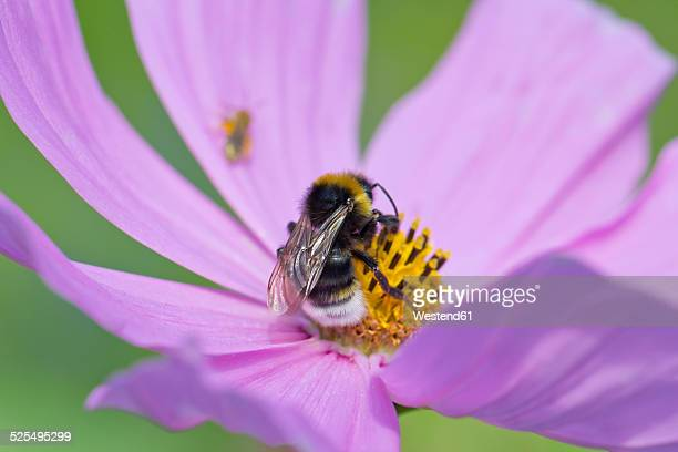 Bumble bee, Bombus, sitting on Mexican aster, Cosmea