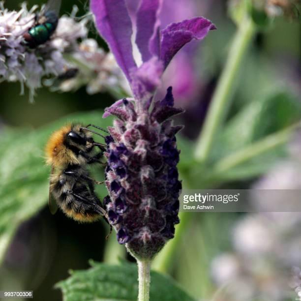 bumble bee bombus terrestris