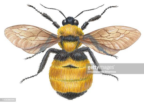 Bumble Bee Bumble Bee