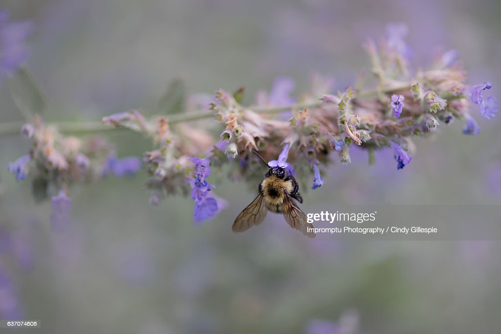 Bumble bee busy in the summer : Stock Photo