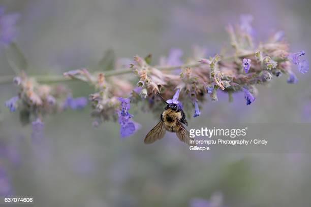 bumble bee busy in the summer - kattmynta bildbanksfoton och bilder