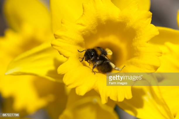 Bumble bee covereed in pollen on Daffodils.