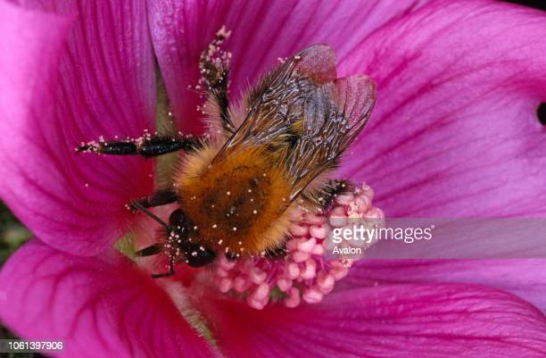 Bumble Bee feeding on and pollinating mallow.