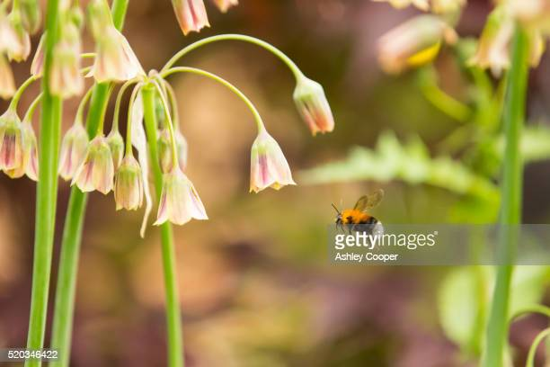 Bumble Bee gathering pollen from an Alium flower