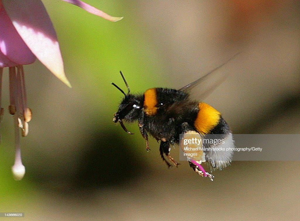 Bumble bee in flight : Stock Photo