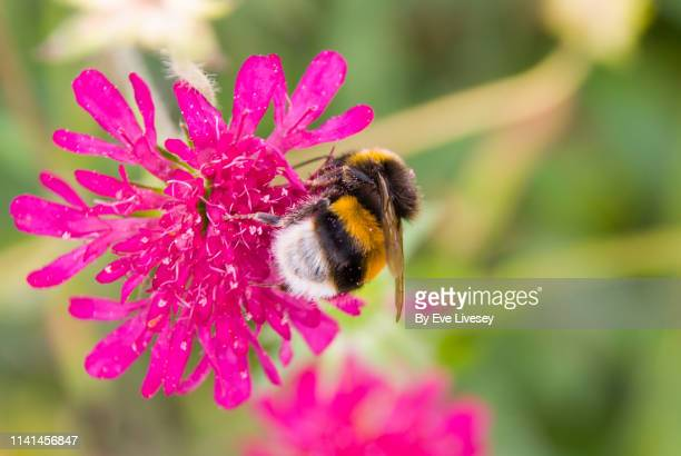 bumble bee on a pink flower - bumblebee stock pictures, royalty-free photos & images