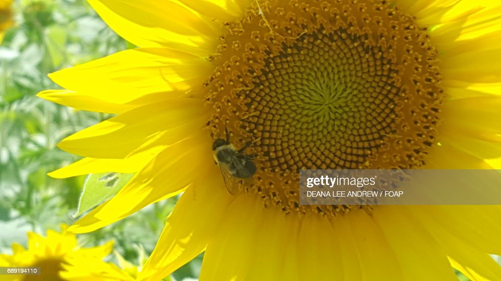 Bumble bee on a sunflower : Stock Photo