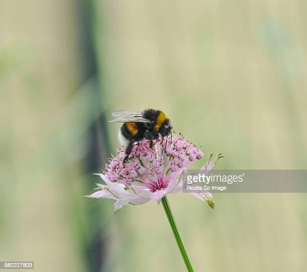 Bumble Bee on Astrantia Major Roma