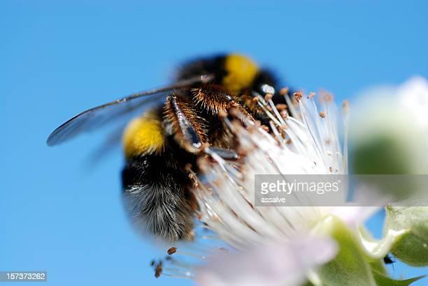bumble ape sul fiore blackburry - calabrone foto e immagini stock