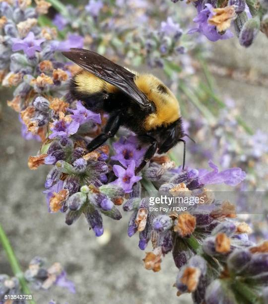bumble bee on flower - medford oregon stock photos and pictures