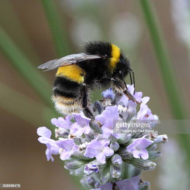 bumble bee on lavender - bumblebee stock pictures, royalty-free photos & images