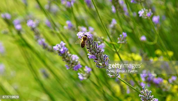Bumble Bee On The Lavender Flower