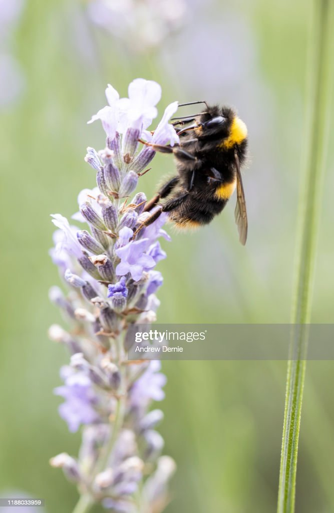 Bumble bee : Stock Photo
