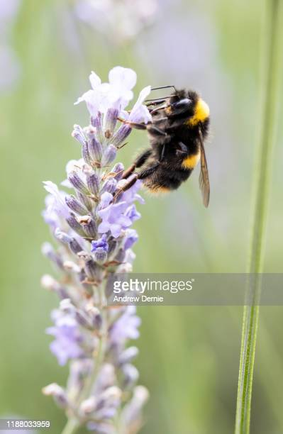 bumble bee - andrew dernie stock pictures, royalty-free photos & images