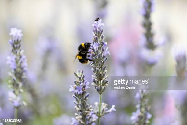 bumble bee - andrew dernie stock-fotos und bilder
