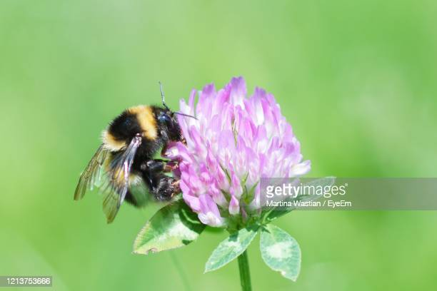 bumble bee - symbiotic relationship stock pictures, royalty-free photos & images
