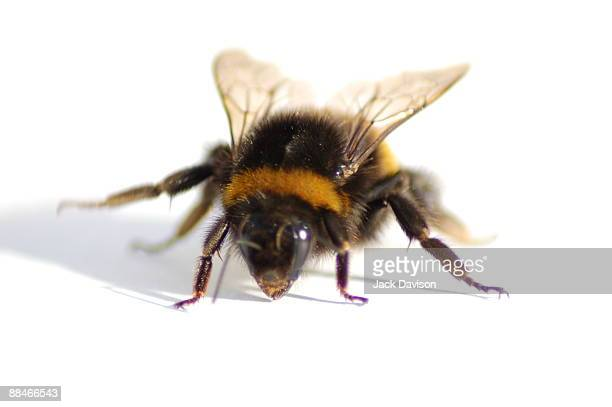 bumble bee - bumblebee stock pictures, royalty-free photos & images