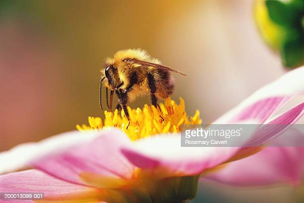 bumble bee (apidae) pollenating dahlia (dahlia sp.), close-up - symbiotic relationship stock pictures, royalty-free photos & images