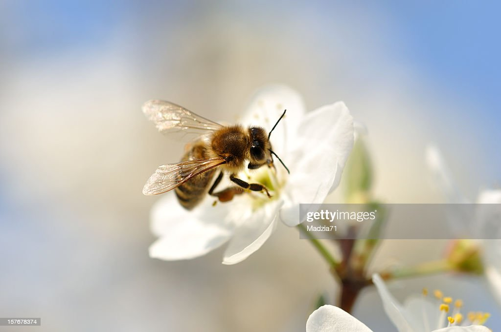 A bumble bee pollinating on a white flower : Stock Photo