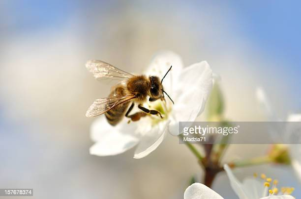 A bumble bee pollinating on a white flower