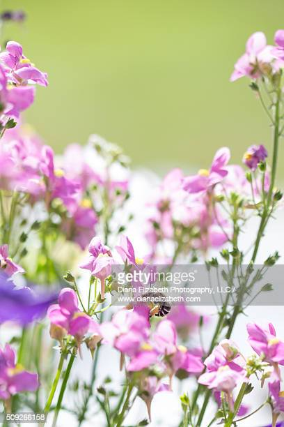 Bumble bee pollinating pink flower