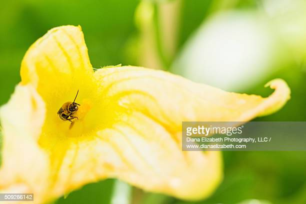 Bumble bee pollinating yellow summer squash flower