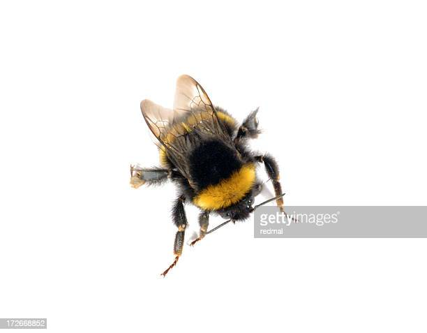bumble - bumblebee stock pictures, royalty-free photos & images