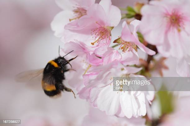A bumblebee approaches a cherry blossom tree in Liebenau southern Germany on April 22 2013 Bumblebees visit the same patches of flowers every day as...