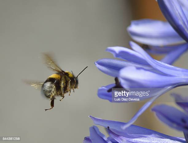 Bumblebee aproaching a purple Agapanthus