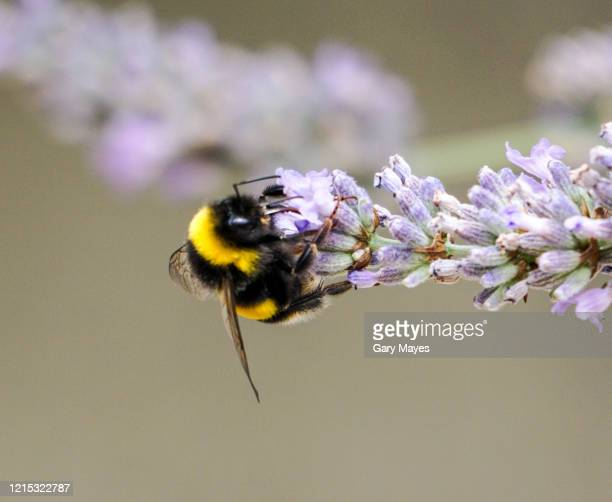 bumblebee bee feeding sitting on lavender flower closeup - bumblebee stock pictures, royalty-free photos & images