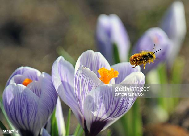 A bumblebee collects nectar from a flower in one of Kiev's parks on March 31 2010 during a warm spring sunny day AFP PHOTO/ SERGEI SUPINSKY