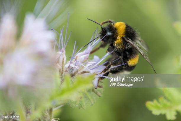 A bumblebee collects pollen from a flower on July 13 2017 near Pattensen northern Germany / AFP PHOTO / dpa / Silas Stein / Germany OUT