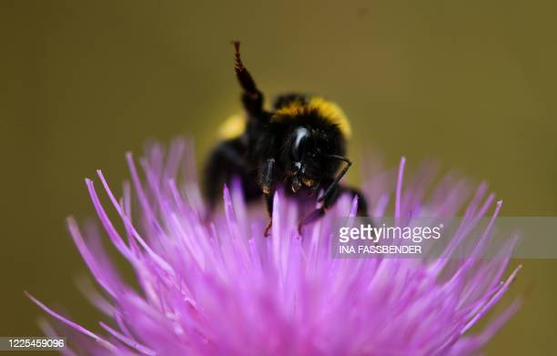 Bumblebee collects pollen from the flower of a thistle in Unna, western Germany on July 8, 2020.